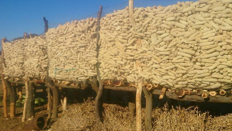 Zimbabwe has enough maize to last the country two years even if there are no rains